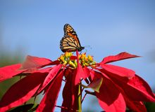 Colorful poinsettia and monarch butterfly Royalty Free Stock Image