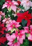 Colorful Poinsettia Royalty Free Stock Photos