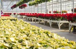 Colorful Poinsettias Stock Photos