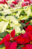 Colorful Poinsettias Royalty Free Stock Photos