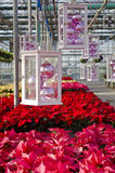 Colorful Poinsettias and Christmas Decorations. Rows of red and pink poinsettias and hanging Christmas decorations in a plant nursery royalty free stock image
