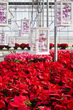 Colorful Poinsettias and Christmas Decorations Royalty Free Stock Photography