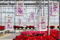 Colorful Poinsettias and Christmas Decorations. Rows of red and pink poinsettias and hanging Christmas decorations in a plant nursery royalty free stock photography