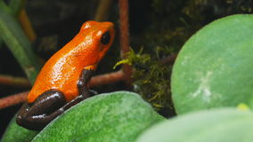 Colorful poison dart frog. A strawberry poison dart frog (Ooehaga pumilio) hops out of shot stock video footage