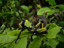 A colorful poisonous grasshopper Royalty Free Stock Photo