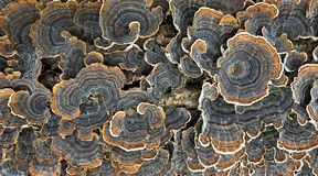 Colorful Polypore Blossoms on a Stump. A colorful polypore blossoms wildly on a rotting tree stump royalty free stock images