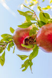 Colorful pomegranate fruit against sky on tree branch. In Lofou, Cyprus Royalty Free Stock Photos