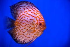 orange pigeon blood discus  fish Stock Images