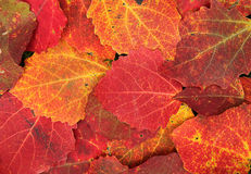 Colorful poplar leaves Royalty Free Stock Photo