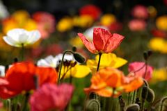 Colorful poppies Stock Photography