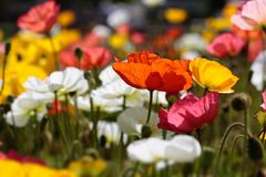 Colorful poppies Royalty Free Stock Images