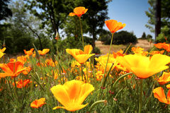 Free Colorful Poppies Royalty Free Stock Photos - 5181078