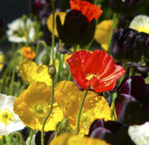 Colorful poppies. Poppy flowers, few in focus others  more blurred, a few tulips Stock Photo