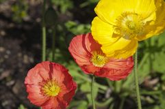 Colorful poppies in garden royalty free stock photography