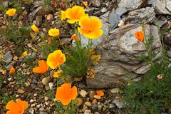 Colorful poppies Stock Photos