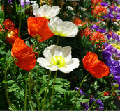 Colorful poppies. Poppy flowers, few in focus others  more blurred Stock Photography