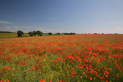Colorful poppy field. Scenic view of field of red poppies, Norfolk, England Royalty Free Stock Images
