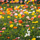 Colorful poppy flowers Stock Image