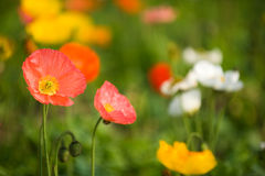 Colorful poppy flowers Stock Photography
