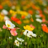 Colorful poppy flowers Stock Photo