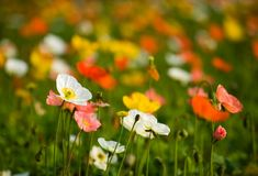 Colorful poppy flowers Royalty Free Stock Image