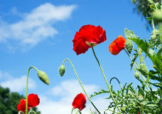 Colorful of Poppy flowers3 Stock Photography