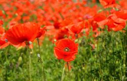 Colorful poppy in the middle of a green grass field on the hills near parma italy Royalty Free Stock Photography