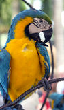 A colorful portrait of a blue and gold macaw parrot Stock Photos