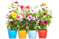 Colorful Pot with african daisy flower Stock Image