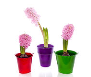 Colorful potted hyacinth flowers Royalty Free Stock Photos