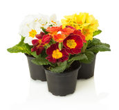 Colorful primrose in pot isolated on white background Stock Photography