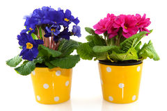 Colorful Primroses. In pink and blue isolated over white Stock Photos