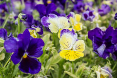 Colorful primroses Stock Image