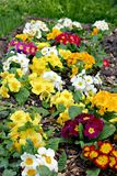 Colorful primroses. (selective focus on the primulas in the front Stock Image