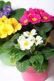 Colorful primroses in colorful pots Royalty Free Stock Photos