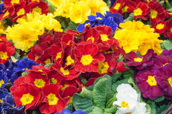 colorful Primroses at florist Stock Images