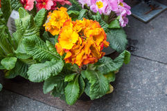 Colorful Primroses at florist Royalty Free Stock Photography