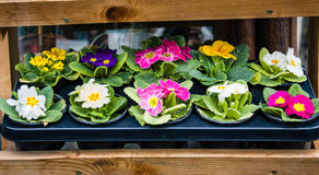 Colorful primroses in flower pot. In market Royalty Free Stock Image