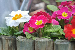 Colorful primroses flowerbed Royalty Free Stock Photos