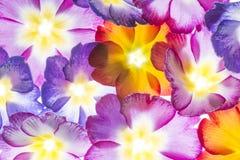 Colorful primroses Stock Photo