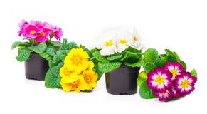 Colorful Primroses Royalty Free Stock Photos