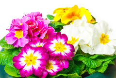 Colorful Primroses Royalty Free Stock Images