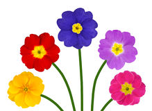 Colorful Primroses on Green Stick Isolated Stock Photos