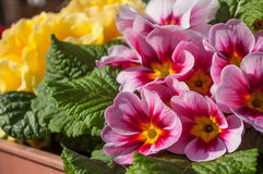 colorful primroses in a pot Royalty Free Stock Photos