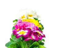 Colorful Primroses, row Royalty Free Stock Photography