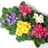 Colorful primroses from the top Stock Photos