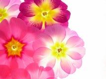 Colorful primula Stock Photo