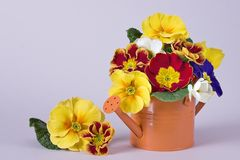 Colorful primula Royalty Free Stock Photography