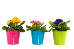 Colorful primula Stock Images