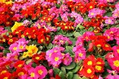 Colorful primula acaulis flowerbed royalty free stock photo